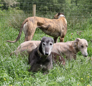 Adoption - Clare Greyhound Sanctuary