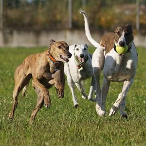 Greyhound Oisin
