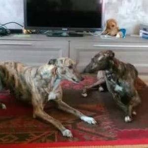 Greyhound Con